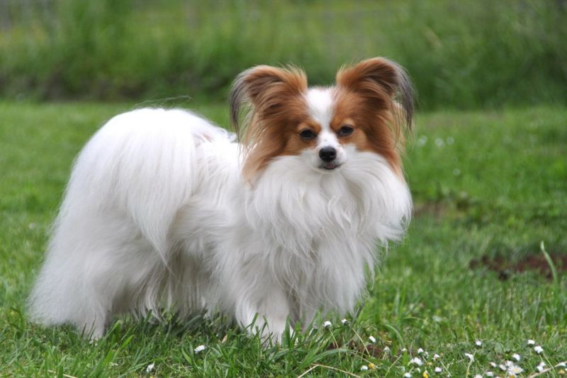 Continental Toy Spaniel