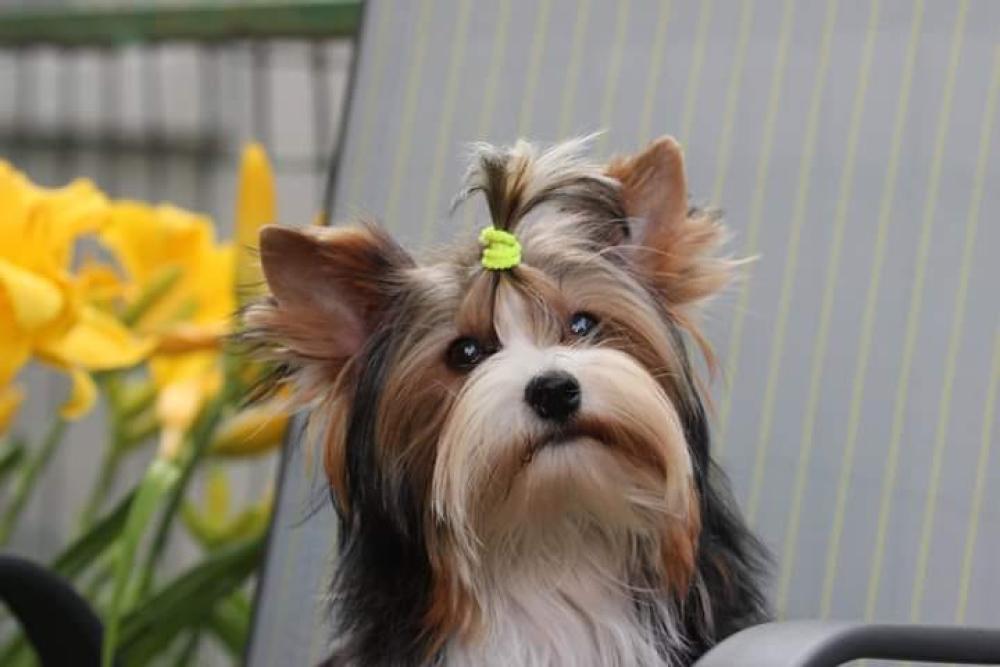 Biewer Yorkshire Terrier A Vendre En Ville De Kropivnitsky Ukraine Prix 627 Annonce 3017