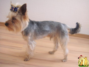 Photo №1. Service d'accouplement - race: yorkshire terrier. Prix - 233€