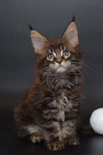 Photo №1. maine coon - à vendre en ville de Saint-Pétersbourg | 654€ | Annonce № 4471