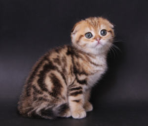 Photo №1. scottish fold - à vendre en ville de Astana | 271€ | Annonce № 489