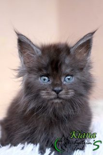 Photo №1. maine coon - à vendre en ville de Saint-Pétersbourg | 375€ | Annonce № 6483