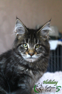 Photo №1. maine coon - à vendre en ville de Saint-Pétersbourg | 500€ | Annonce № 6508