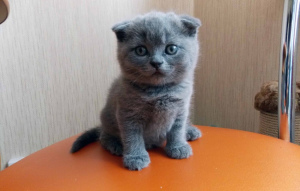 Photo №1. scottish fold - à vendre en ville de Astana | 271€ | Annonce № 490