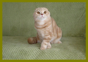 Photo №1. scottish fold - à vendre en ville de Kiev | 305€ | Annonce № 3010