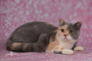 Photo №1. british shorthair - à vendre en ville de Saint-Pétersbourg | 300€ | Annonce № 6347