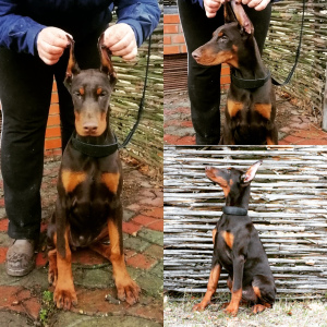 Photo №1. dobermann - à vendre en ville de Киев | 700€ | Annonce №4710