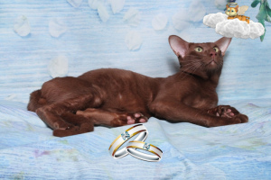 Photo №1. Service d'accouplement - race: oriental shorthair. Prix - 99€