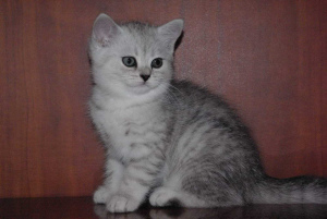 Photo №1. british shorthair - à vendre en ville de Moscou | 541€ | Annonce № 774