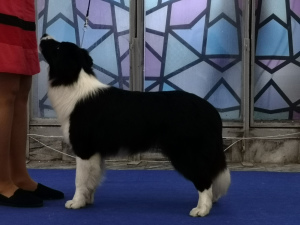 Photo №3. Chiot Border Collie de Champion du Monde 2018 et Européen 2019. Ukraine