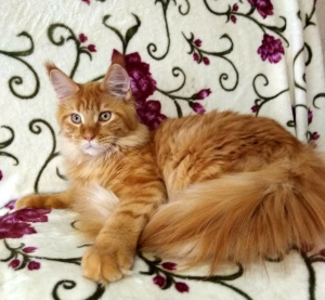 Photo №1. maine coon - à vendre en ville de Saint-Pétersbourg | 859€ | Annonce № 1236