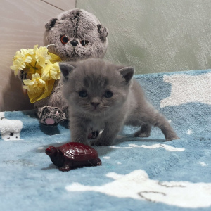 Photo №1. british shorthair - à vendre en ville de Saint-Pétersbourg | 217€ | Annonce № 5019