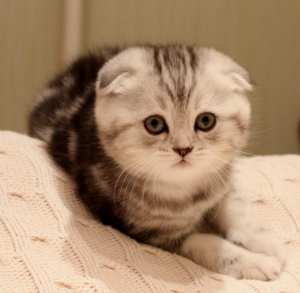 Photo №1. scottish fold - à vendre en ville de Astana | 271€ | Annonce № 491