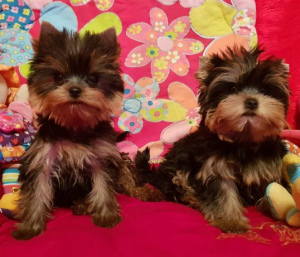 Photo №1. yorkshire terrier - à vendre en ville de Opole | 700€ | Annonce №357