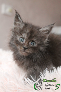 Photo №1. maine coon - à vendre en ville de Saint-Pétersbourg | 377€ | Annonce № 6555