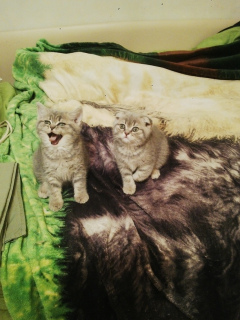 Photo №4. Je vais vendre scottish straight, scottish fold en ville de Moscou. annonce privée - prix - 284€