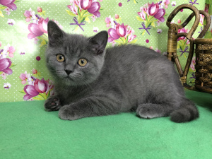Photo №1. british shorthair - à vendre en ville de Samara | 374€ | Annonce № 6403