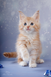 Photo №1. maine coon - à vendre en ville de Saint-Pétersbourg | 509€ | Annonce № 5520