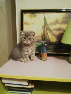 Photo №1. scottish straight, scottish fold - à vendre en ville de Moscou | 284€ | Annonce № 1296