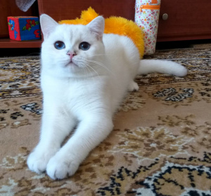 Photo №1. british shorthair - à vendre en ville de Zhashkov | 226€ | Annonce № 773