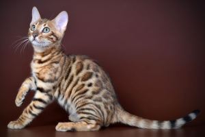 Chat du Bengale (Bengal cat)