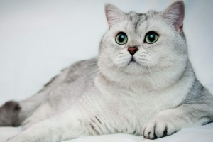 Chat chinchilla (Chinchilla Cat)