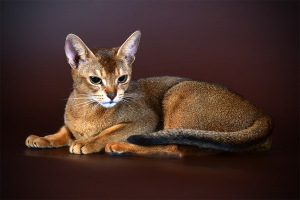 Chat abyssin (Abyssinian cat)